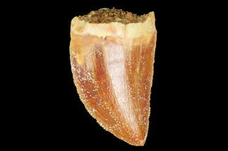 "Serrated, .93"" Juvenile Carcharodontosaurus Tooth For Sale, #77072"