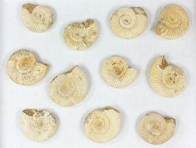 Perisphinctes - Fossils For Sale - #77169