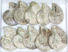 "Buy Wholesale Lot: 5 - 6"" Silver Iridescent Ammonites - 10 Pieces - #77107"