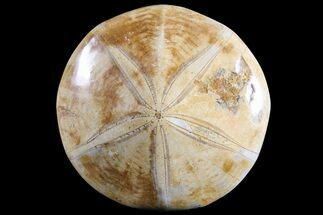 "Buy 4.1"" Polished Fossil Sand Dollar (Pygurus) - Jurassic - #77023"