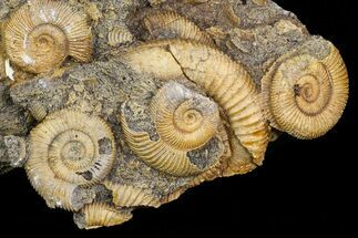 "7"" Dactylioceras Ammonite Cluster - Germany  For Sale, #77183"