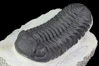"2.9"" Barrandeops Trilobite - Visible Eye Facets For Sale, #76964"