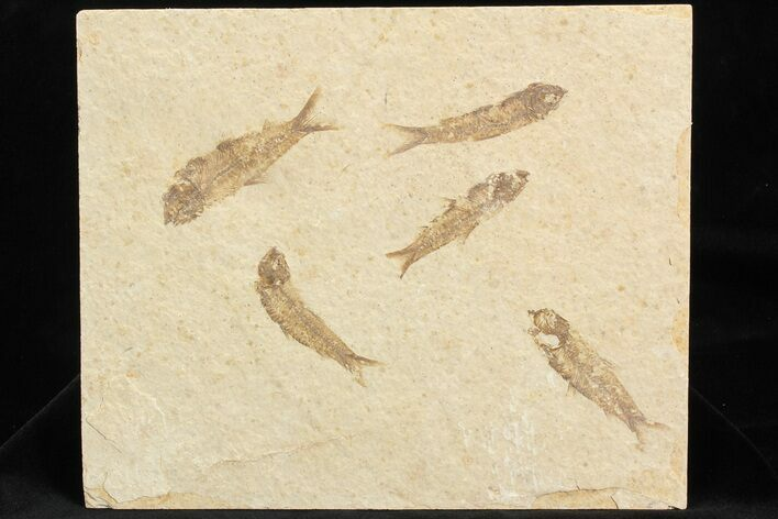Multiple (5) Small Knightia Fossil Fish - Wyoming