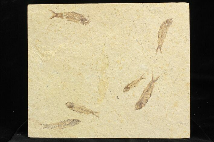 Multiple (6) Small Knightia Fossil Fish - Wyoming