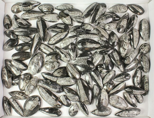 Wholesale Lot: Polished Orthoceras Fossils Assorted Sizes - 100 Pieces