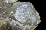 "15.4"" Polished Ammonite Fossil - Amazing Specimen! - #77481-5"