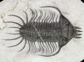 "Buy 3.4"" Spiny Quadrops Trilobite - Large For Species - #69574"