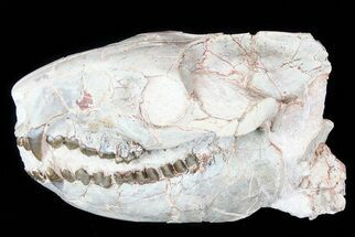 "8.2"" Oreodont (Merycoidodon) Skull - South Dakota For Sale, #77810"