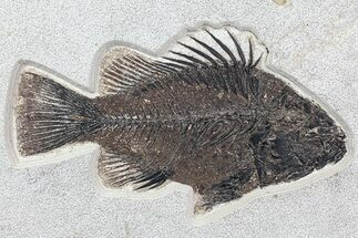 "Buy Huge, 10"" Priscacara Fossil Fish - Wyoming - #77878"