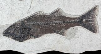 "Large, 15.2"" Mioplosus Fossil Fish - 18 Inch Layer For Sale, #77879"