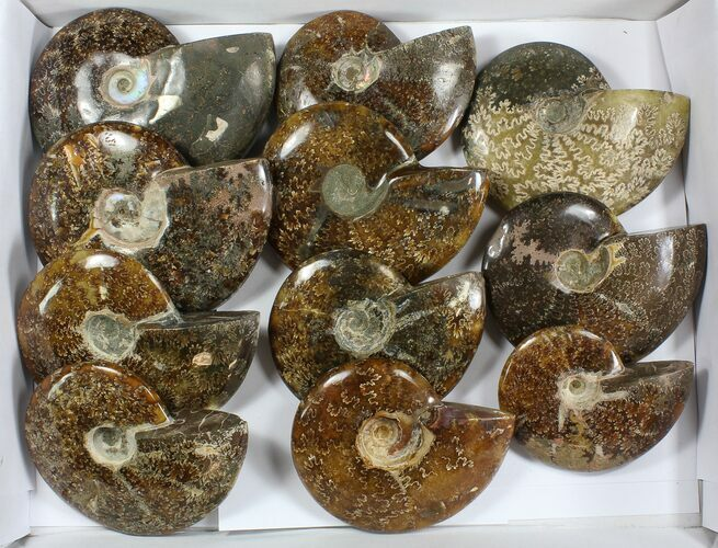 "Wholesale: 5 - 6"" Whole Polished Ammonites (Grade B/C) - 11 Pieces"