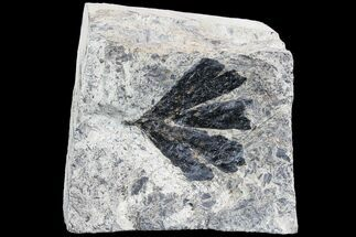 Early Cretaceous Gingko Leaf From Germany For Sale, #77933