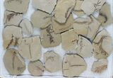 Wholesale Lot: Metasequoia (Dawn Redwood) Fossils - 138 Pieces - #78072-2