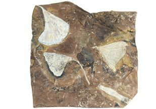 "Buy 6.3"" Wide Multiple Fossil Ginkgo Leaf Plate - North Dakota - #78088"
