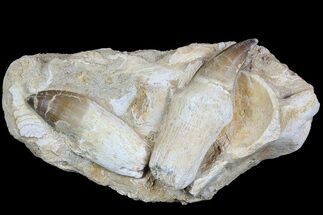 Buy Two Rooted Mosasaur Teeth With Bone Fragments - Morocco - #78094