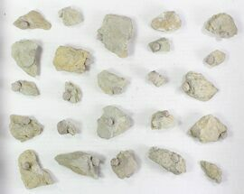 Wholesale Lot of Blastoid Fossils On Shale - 24 Pieces For Sale, #78035