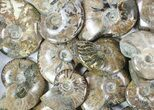 "Wholesale: 3 - 4"" Whole Polished Ammonites (Grade B/C) - 19 Pieces - #78031-1"
