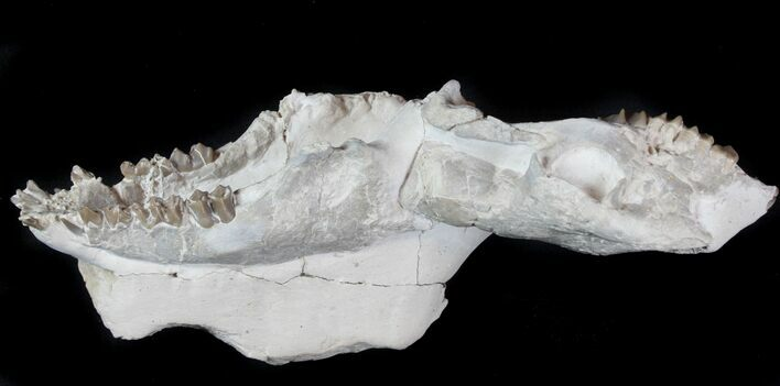"4.1"" Disarticulated Oreodont (Merycoidodon) Skull - Reduced Price"