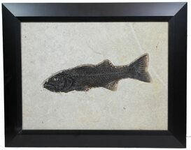 "Buy 11.4"" Framed Fossil Fish (Mioplosus) From Wyoming - Gorgeous - #78133"