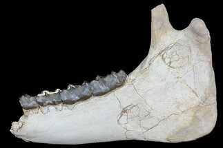 "18"" Fossil Titanothere (Megacerops) Jaw - South Dakota For Sale, #78146"