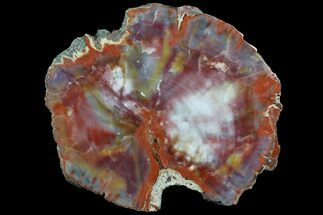"Buy Brilliant, Polished Arizona Petrified Wood Slice - 8.5"" - #78163"