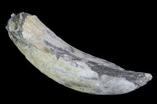 "5.7"" Fossil Pygmy Sperm Whale (Kogiopsis) Tooth For Sale, #78224"