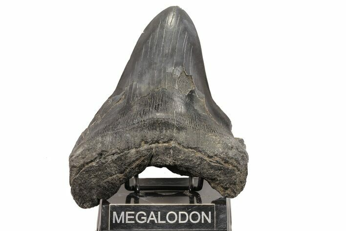 "6.51"" Fossil Megalodon Tooth - Monster Meg Tooth"
