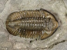 ".6"" Mississippian Trilobite (Ameropiltonia) - Missouri For Sale, #77996"