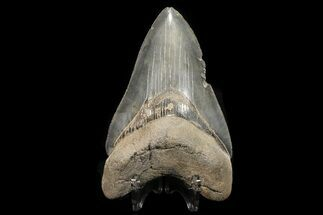 "Buy Serrated, 4.71"" Fossil Megalodon Tooth - Georgia - #78187"
