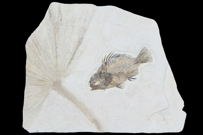 Fossil Palm Frond And Fish (Priscacara) - Wyoming