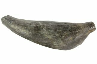 "Buy 5.7"" Fossil Sperm Whale (Scaldicetus) Tooth - #78217"