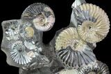 "Gorgeous, 5.8"" Tall Iridescent Ammonite Cluster - Russia - #78533-2"