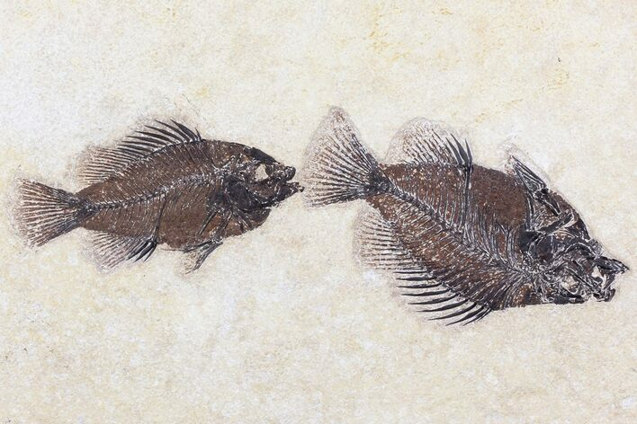 Two Cockerellites (Priscacara) Fossil Fish - Wyoming