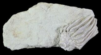 "1.3"" Crinoid (Macrocrinus) Fossil - Crawfordsville, Indiana For Sale, #78287"