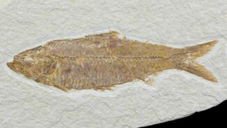 "Detailed, 3.95"" Knightia Fossil Fish - Wyoming For Sale, #78305"