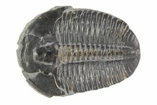 Elrathia kingii - Fossils For Sale - #78960