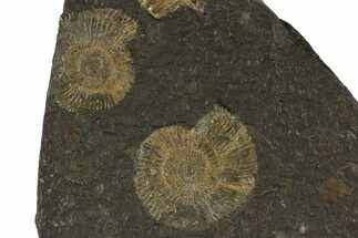 Dactylioceras - Fossils For Sale - #79314