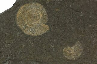 "5.5"" Dactylioceras Ammonite Cluster - Posidonia Shale, Germany For Sale, #79319"