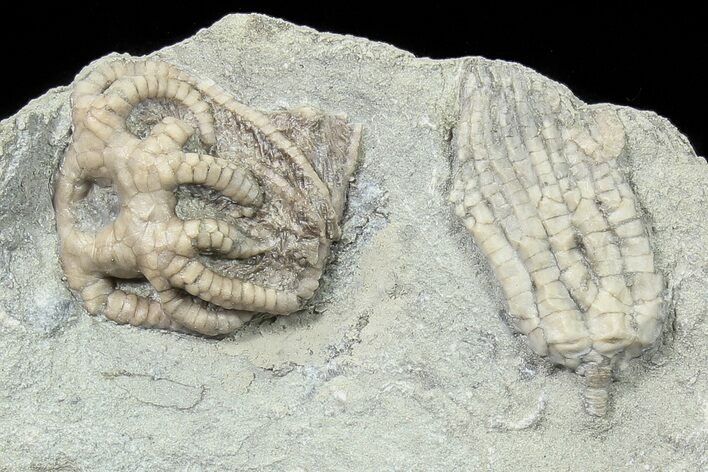 Two Detailed Crinoids (Agaricocrinus & Sarocrinus)  - Indiana