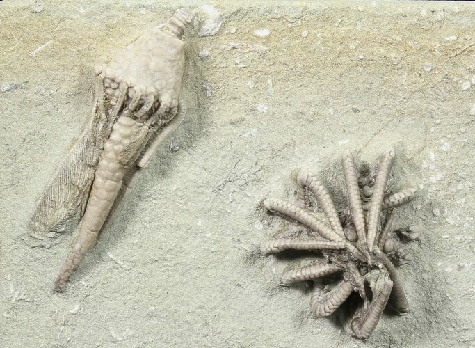 Two Detailed Crinoids (Agaricocrinus & Macrocrinus)  - Indiana