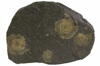 Dactylioceras - Fossils For Sale - #79302