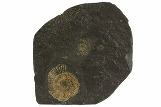 "Buy 4.8"" Dactylioceras Ammonite Plate - Posidonia Shale, Germany - #79357"