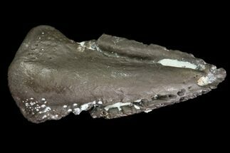Mycterosaurus sp. - Fossils For Sale - #79533