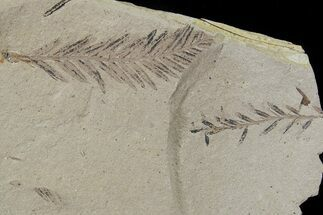 Metasequoia (Dawn Redwood) Fossil - Montana  For Sale, #79625
