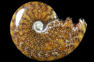 "Buy 4.6""  Polished, Agatized Ammonite (Cleoniceras) - Madagascar - #79741"