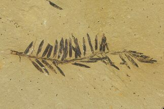 Metasequoia (Dawn Redwood) - Fossils For Sale - #79563