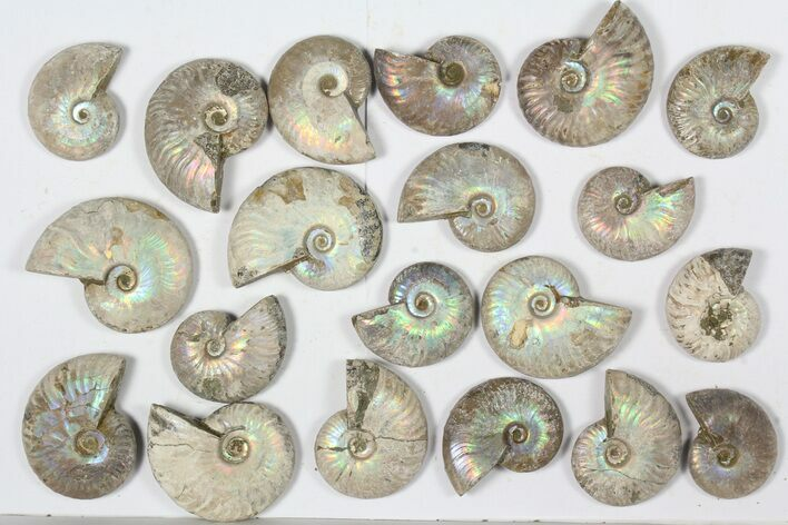 "Wholesale: 1 KG Silver Iridescent Ammonites (2-3"") - 20 Pieces"