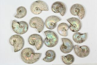 "Buy Wholesale: 1 KG Silver Iridescent Ammonites (2-3"") - 18 Pieces - #79447"