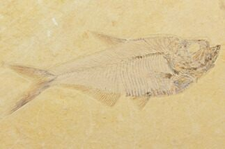 "Detailed, 5.7"" Diplomystus Fossil Fish - Wyoming For Sale, #79988"