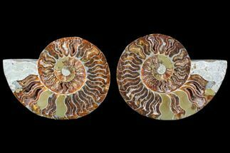 Cleoniceras - Fossils For Sale - #79701